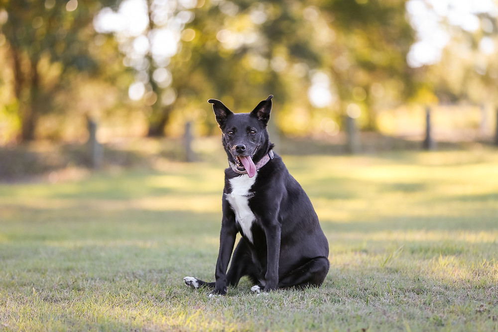 a black kelpie sitting in a field during her pet photography session