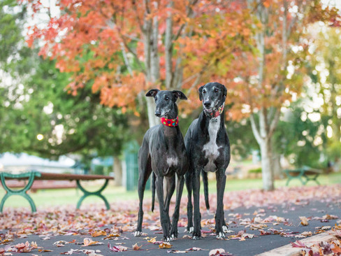 toowoomba-greyhound-queensland-brisbane-