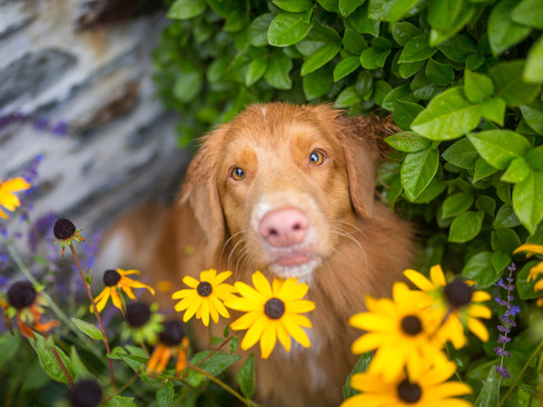 novascotiaducktollingretriever-brisbane
