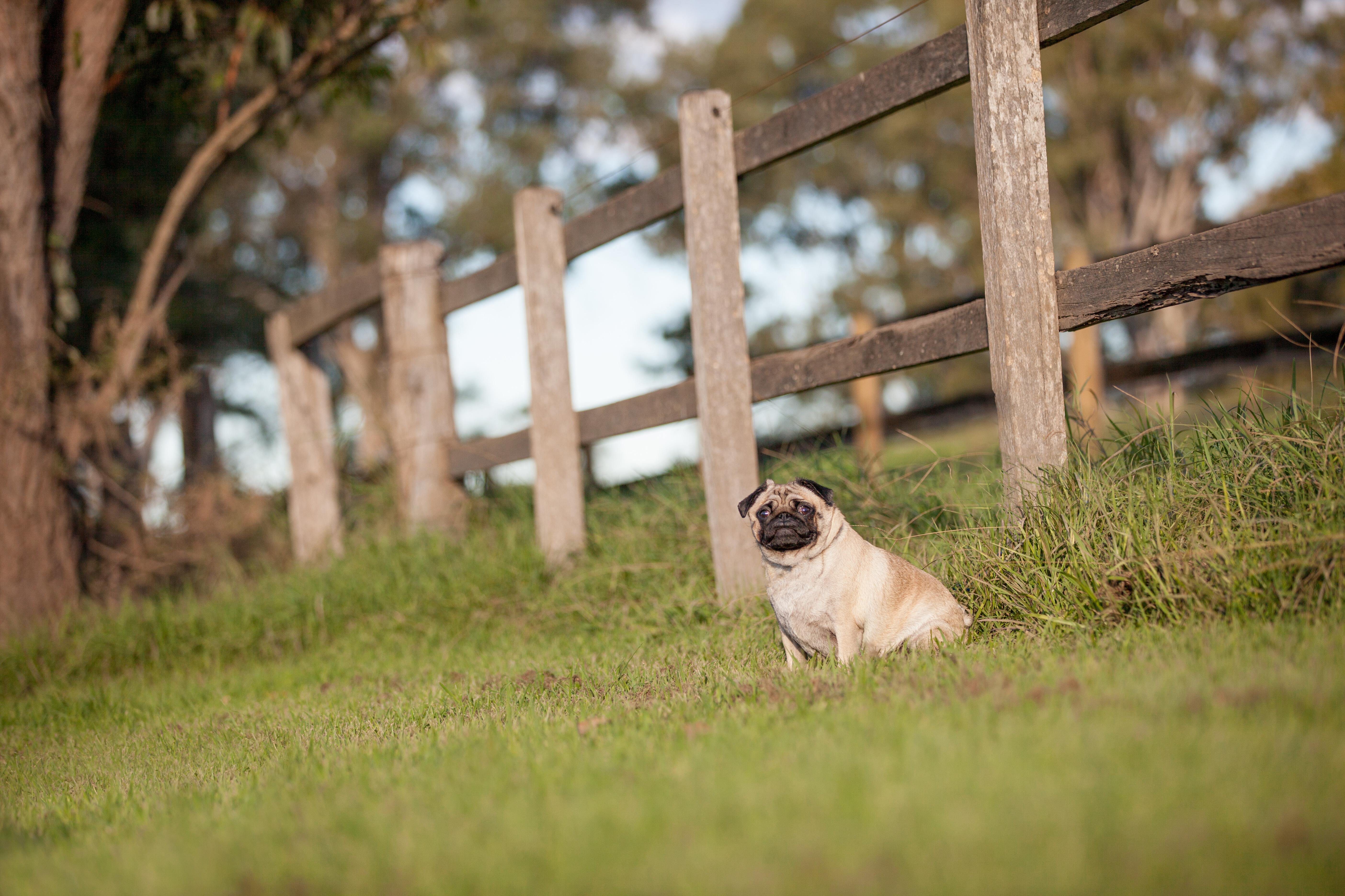 riverdale park pug photo