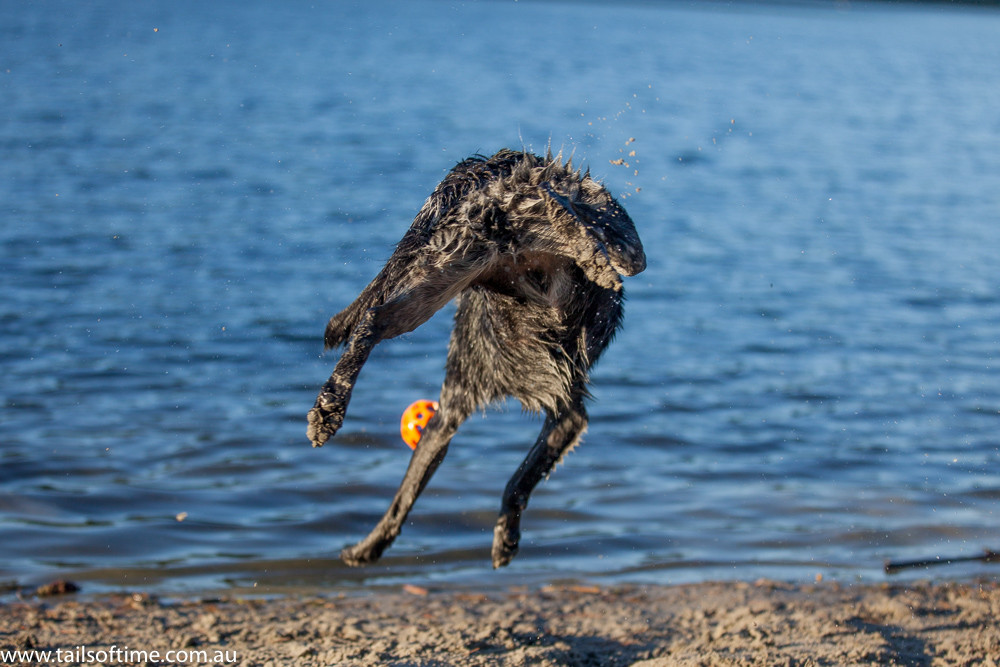 dog jumping pet photography. Gold Coat Pet Photography session by Tails of Time Pet Photography