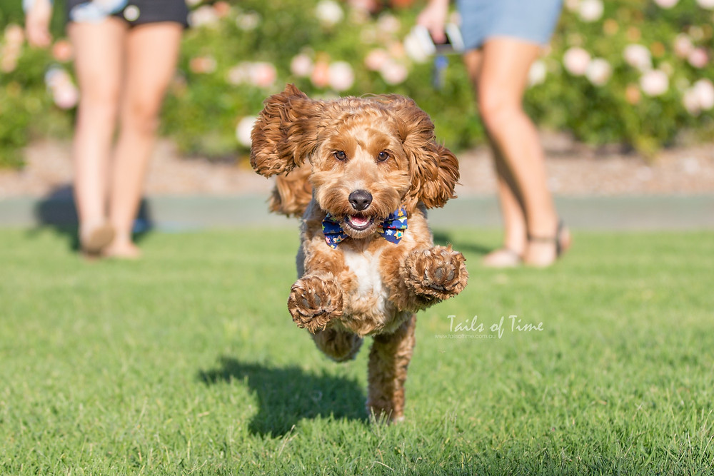 Spoodle pet photography session at new farm park