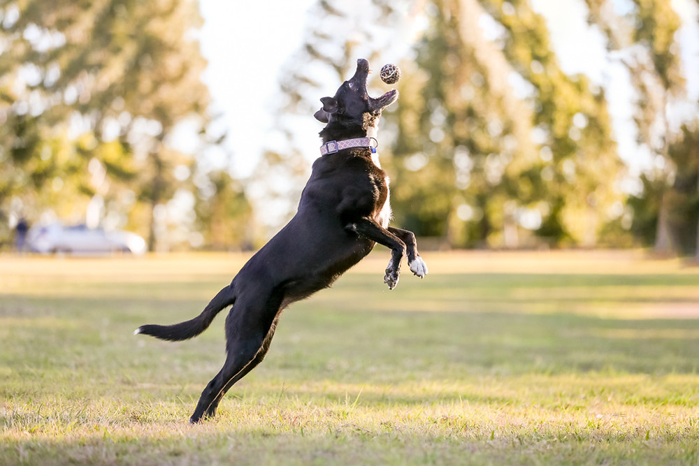 A dog jumps for her ball during her pet photography session