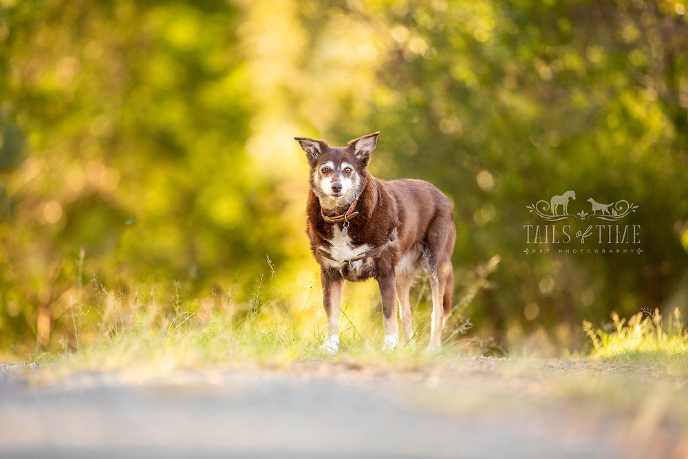 a kelpie poses in a sunlit park during a dog photography session