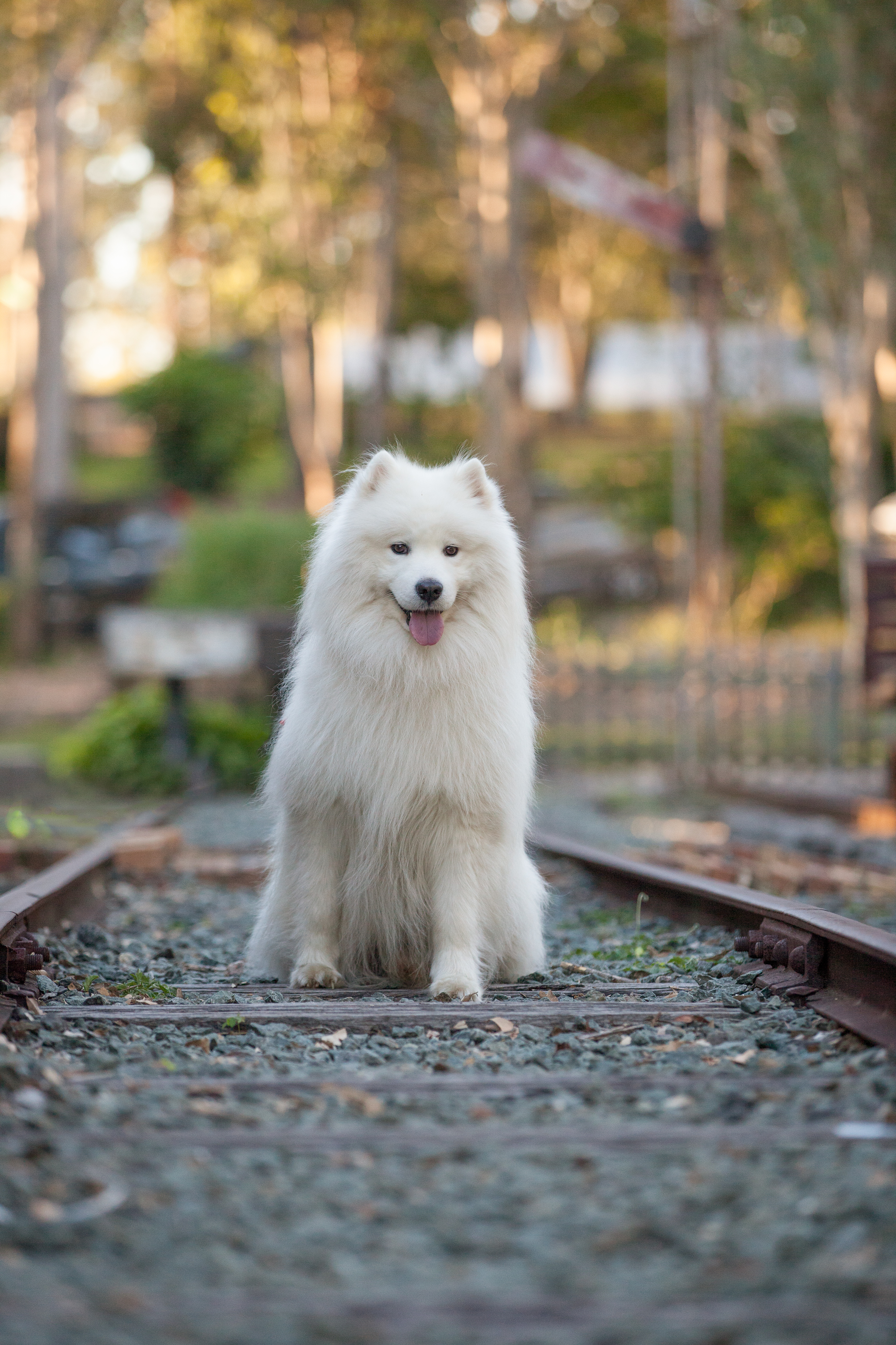 Samoyed at old petrie town brisbane