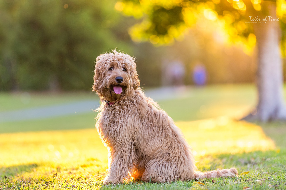 Brisbane pet photographer and Mercy the labradoodle at Riverdale park.