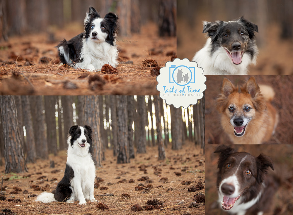 Gold Coat Pet Photography session by Tails of Time Pet Photography