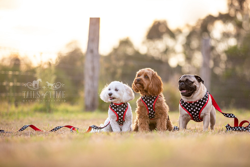 Commercial pet photography session for Dizzy Dog Collar Co