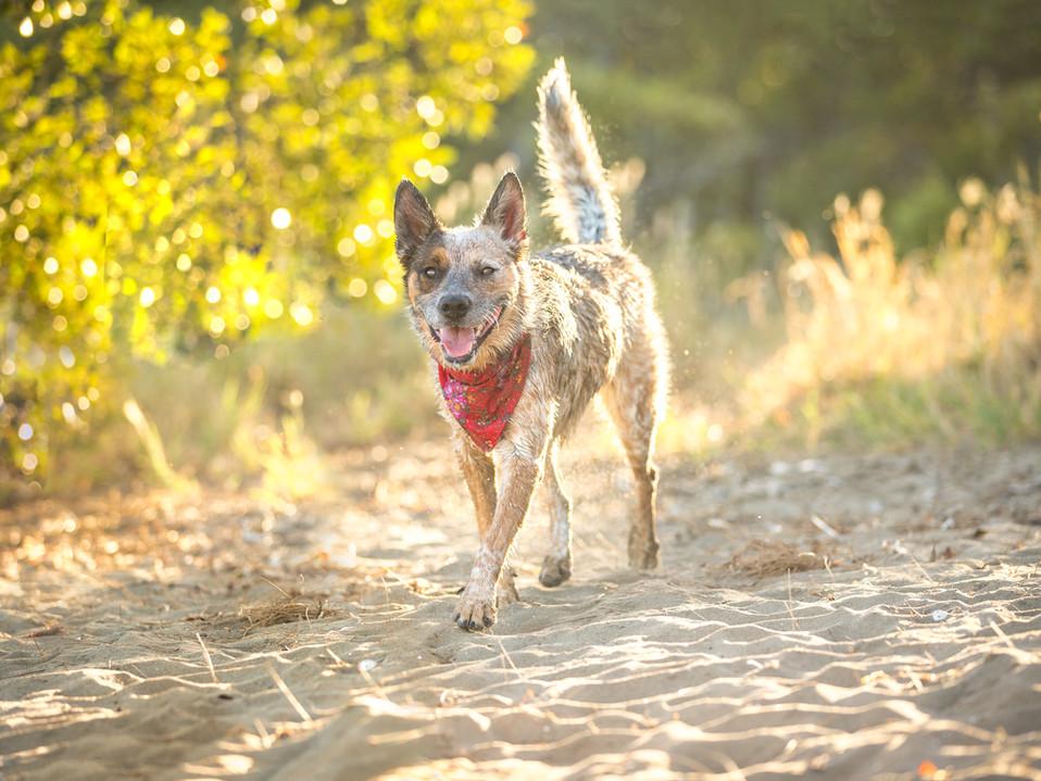 cattledog-nudgeebeach-dogfriendlybrisban