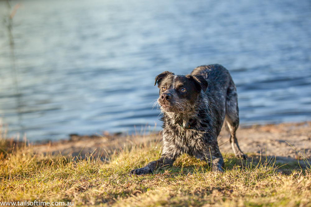 cattle dog play bows in front of lake. Gold Coat Pet Photography session by Tails of Time Pet Photography