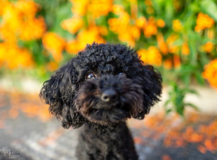 Zali the black fluffy dog poses in front of a flame vine at New Farm Park for her pet photography session