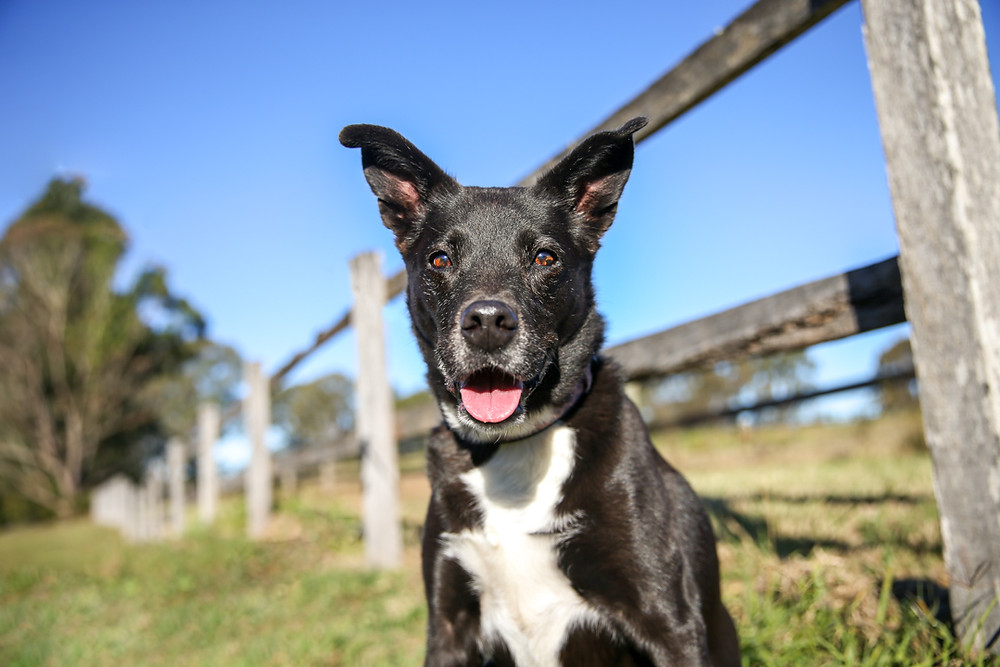 a black kelpie in front of a rustic wooden fence