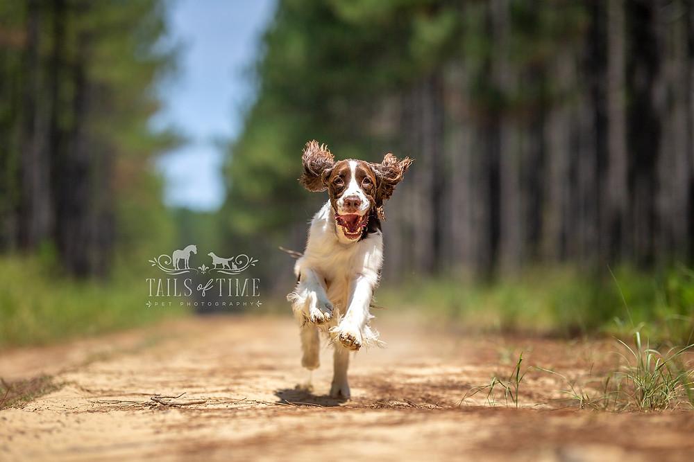 Springer spaniel runs towards the camera through a pine forest