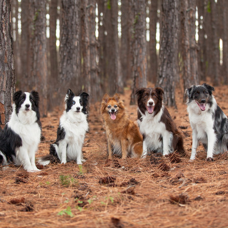 Organised Chaos!  The Border Collies | Gold Coast Pet Photography