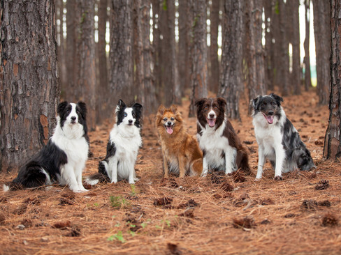 The border collie family