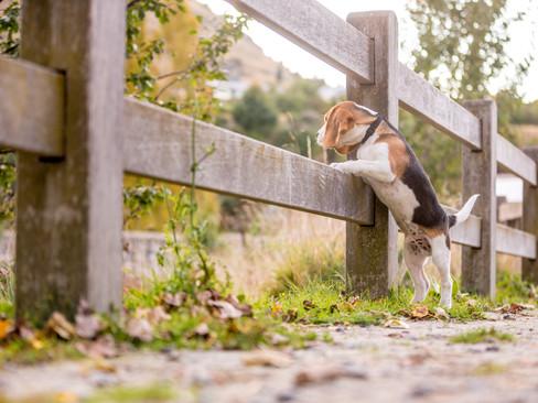 beagle-tailsoftime-petphotography