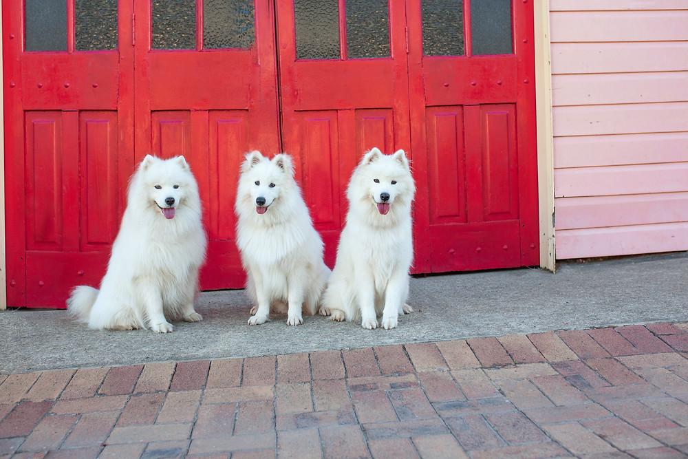 Pet photographer in Brisbane. Three dogs at Brisbane Northside