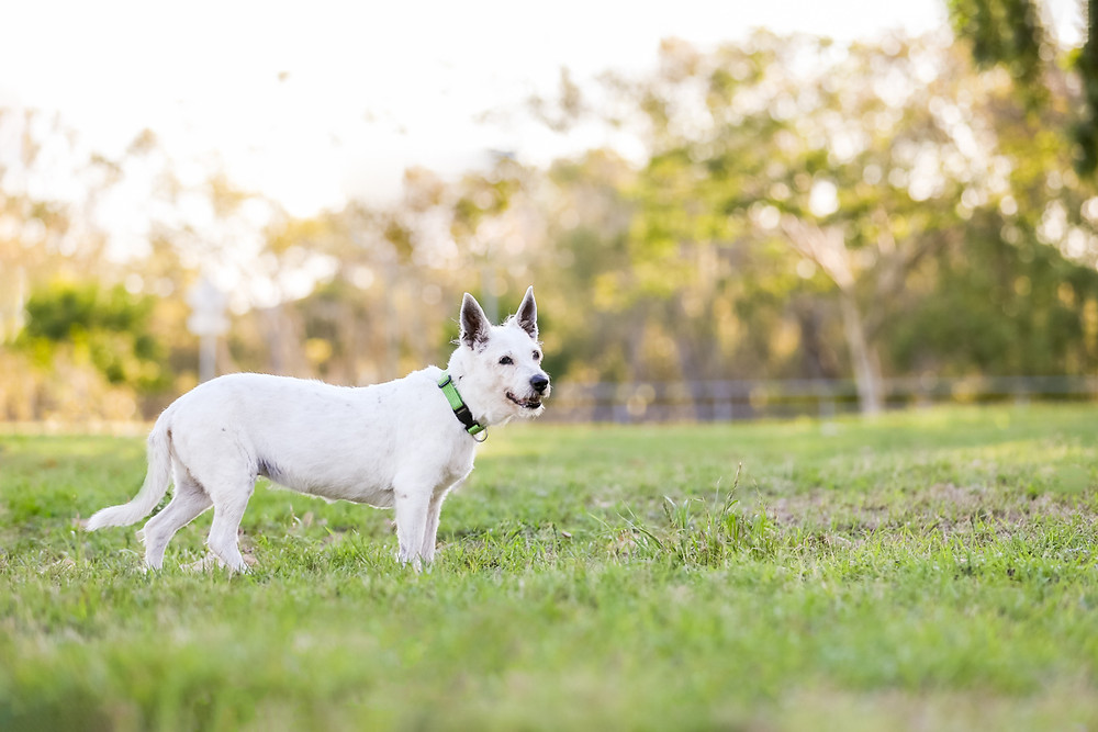 a dog photography session with a small white dog and her owners in Brisbane with jacaranda flowers