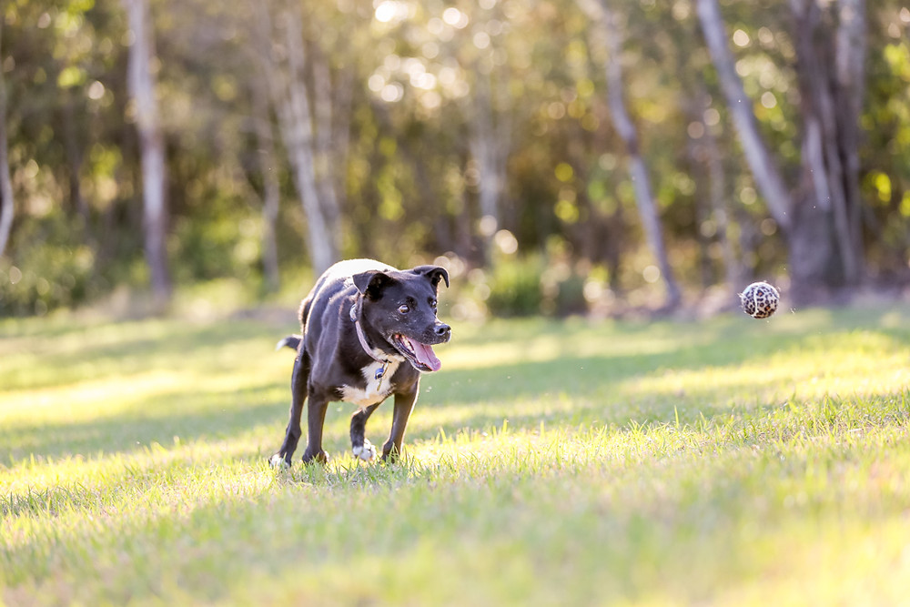 a dog chases her ball in a park