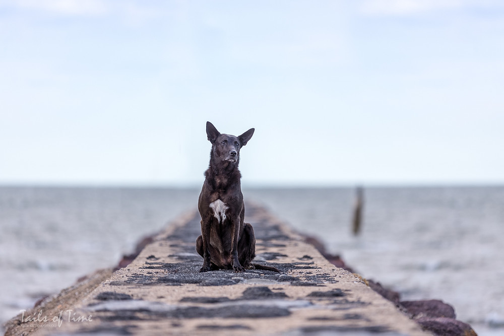 Dog on shorncliffe pier during brisbane pet photo session