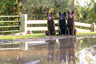 Three kelpies sit on the edge of a puddle, making it look as if there are 6 kelpies