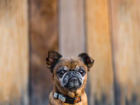 Asti the Brussels Griffon