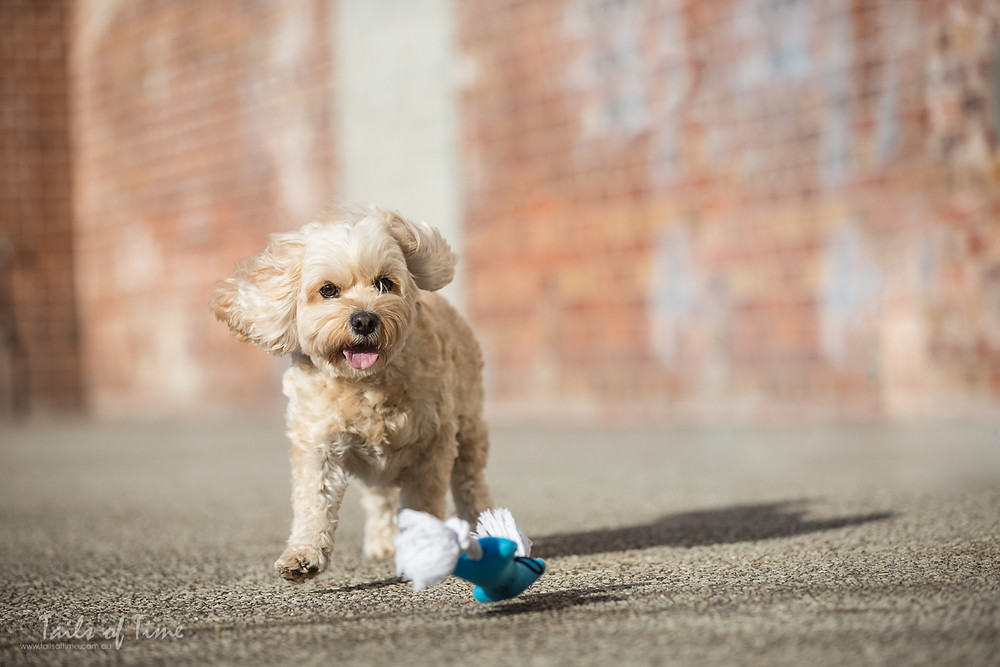 pet photography session with Benny the cavoodle at New farm park