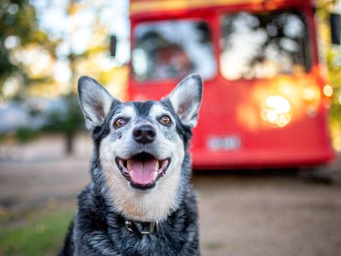 cattledog-brisbane-petphotography-queens