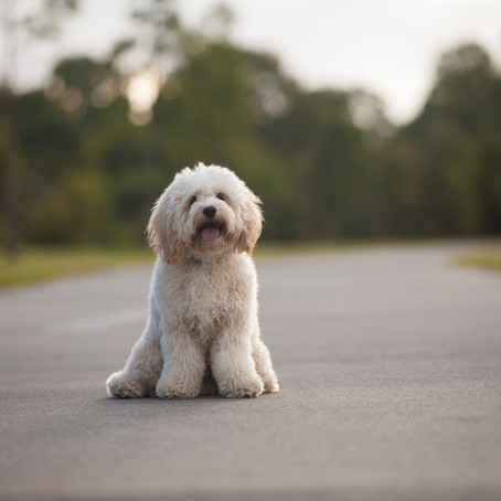 Ted's Time to Shine! | A Brisbane Pet Photography Session