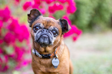 brisban dog posing in front of flowers