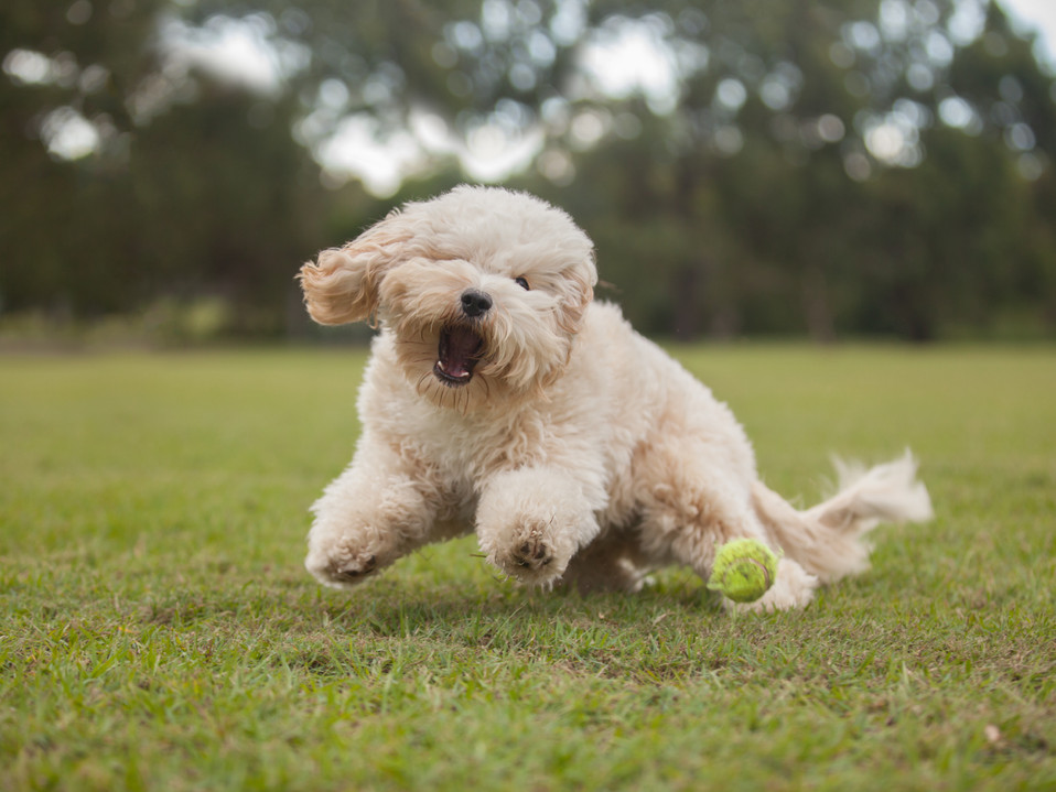 Ted the Cavoodle | Brisbane