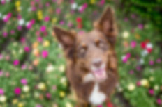A brown kelpie cross dog sits in a rainbow flowerbed looking directly at the camera