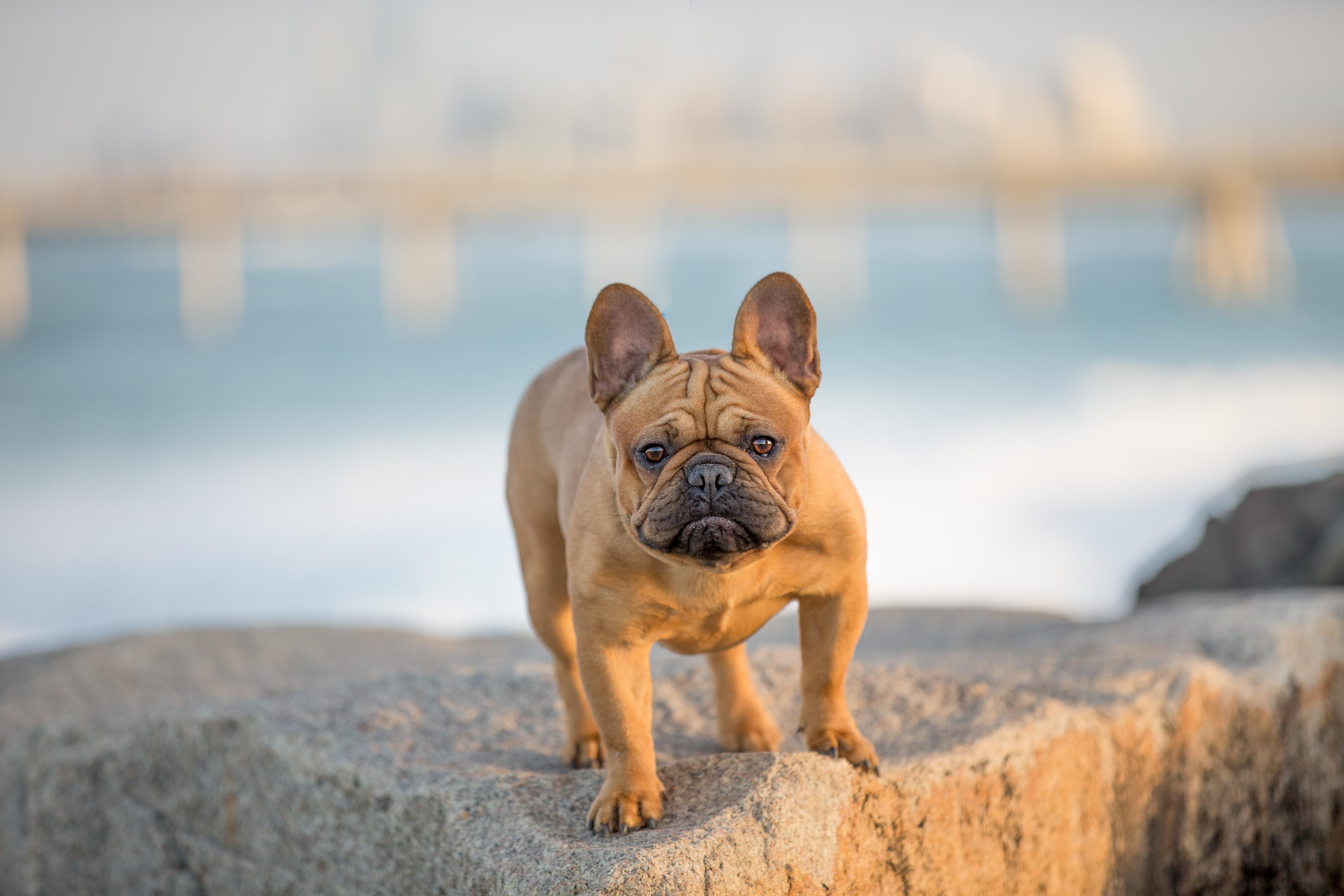 french bulldog pet photography gold