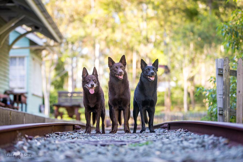 3 dogs pose for a portrait with AIPP accredited professional photographer Tails of Time