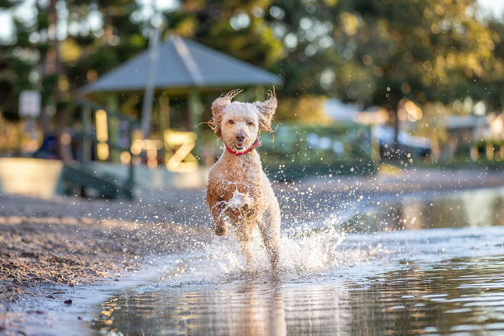 Mollie the labradoodle runs through the water at Pizzey park during her gold coast pet photography session.