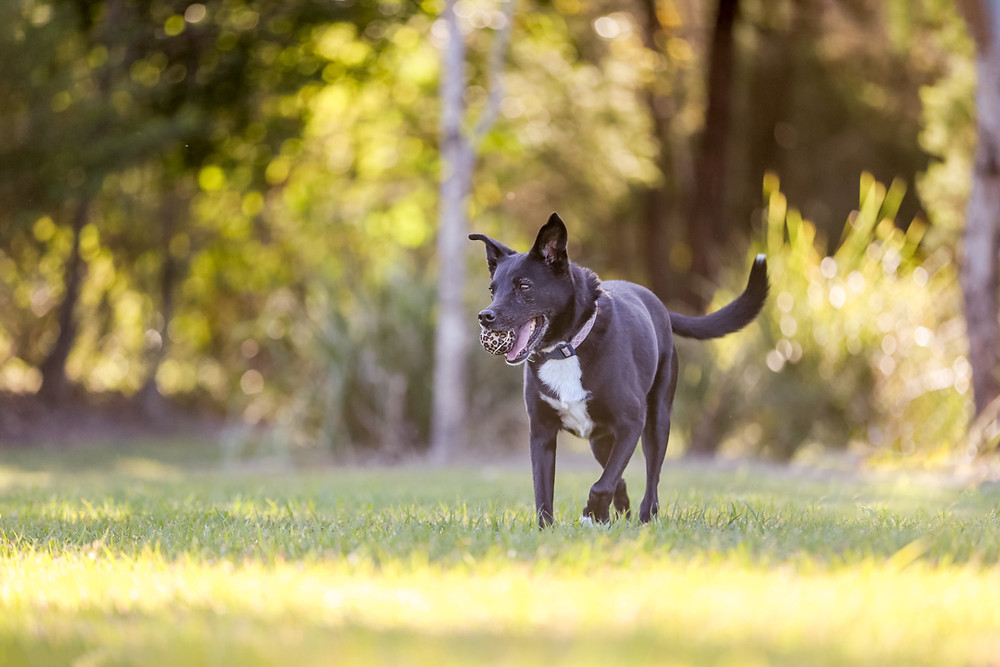 A black dog with her ball during her pet photography session