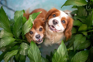 Two cavalier king charles spaniels look up through foliage during Pups, Plants ands Pizza mini-photoshoots