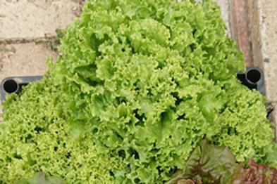 Lettuce Lollo Ricia