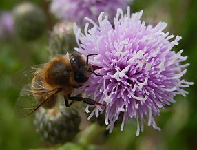 abeille%20chardon_edited.jpg