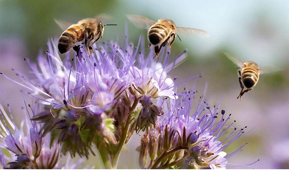 abeilles et fleurs.jpg