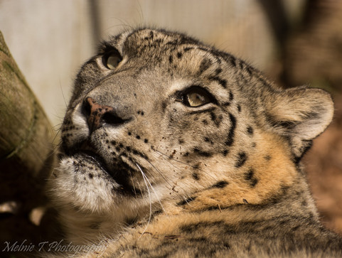 Look up Snow Leopard