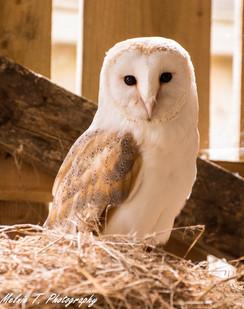 Sunbasking Barn Owl
