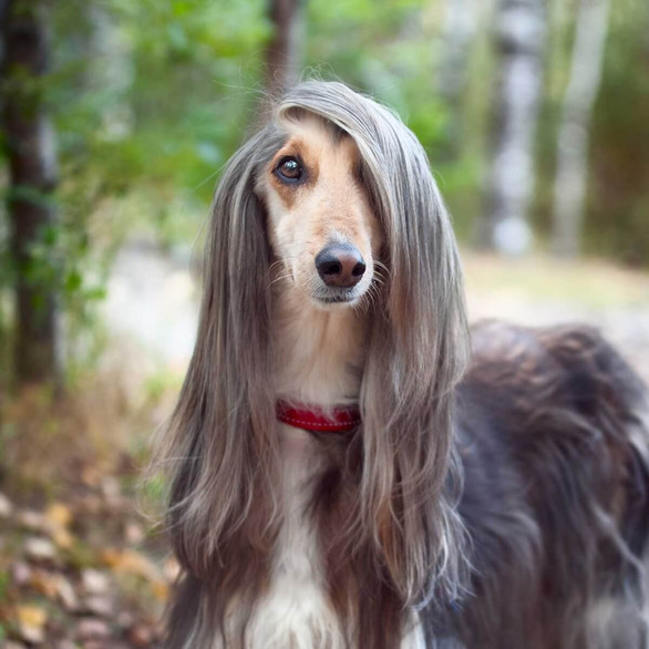 Dog of the Day - Afghan Hound