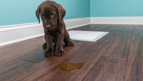 Help! My dog won't stop peeing in the house!