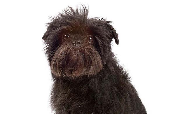 Dog of the day - Affenpinscher