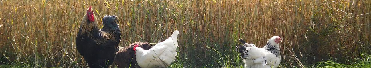 unsere Hühner_2019