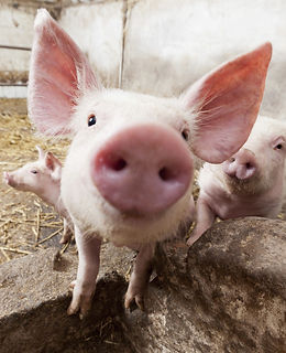 selfies-animales-granja-cerdo-xl-XxXx80.