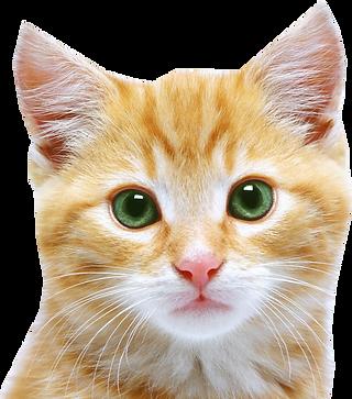 kisspng-kitten-feral-cat-puppy-cat-face-