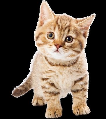 kisspng-cat-food-kitten-dog-adorable-cat