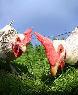 selfies-animales-granja-gallinas-xl-XxXx